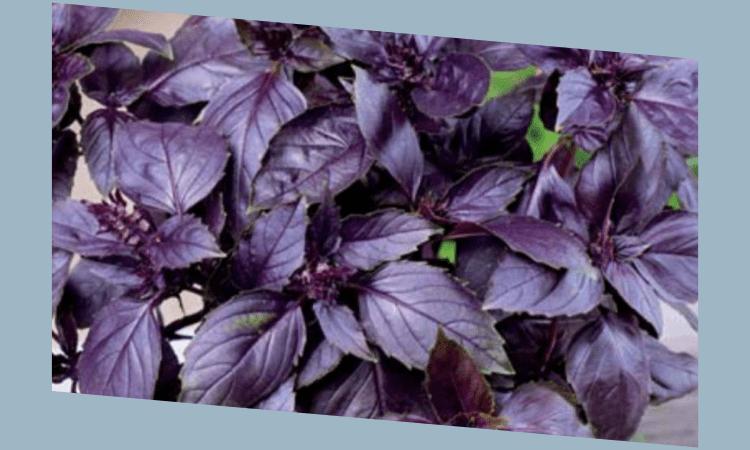Фиолетовый базилик