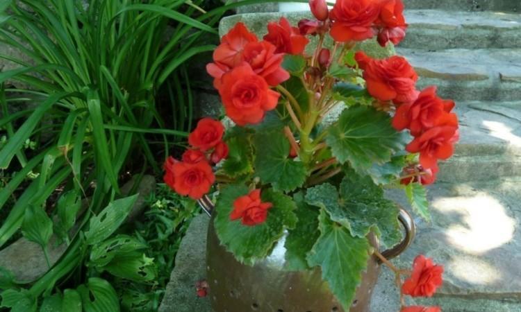 комнатный цветок Иван-да-марья