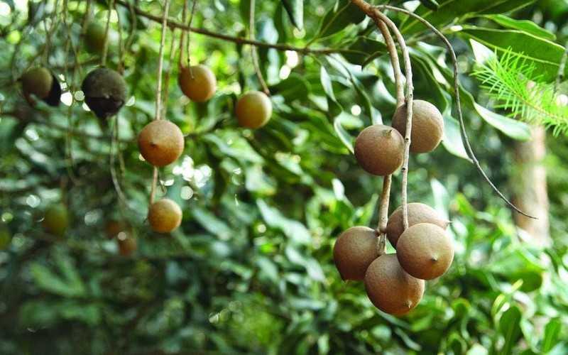 Какие полезные свойства содержит орех макадамия