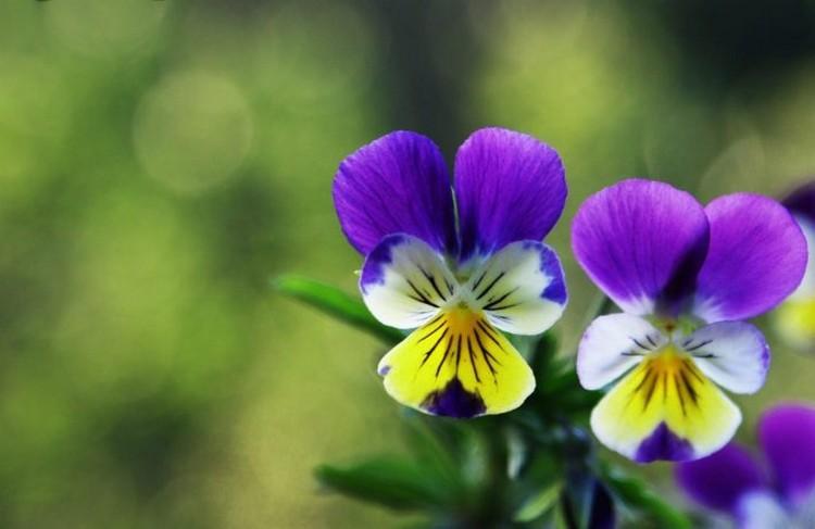 Описание растения фиалка трехцветная