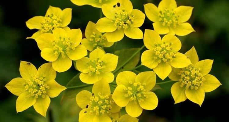 Трава володушка золотистая – химический состав