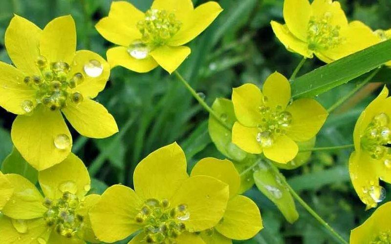 Володушка: лечебные свойства и применение травы в народной медицине