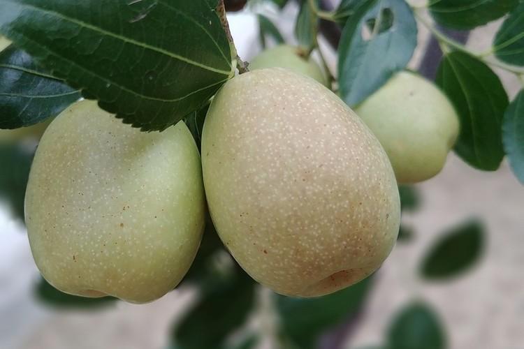 Что такое крымский зизифус