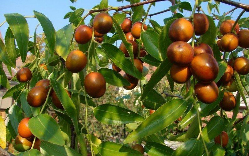 Зизифус крымский — полезные свойства и противопоказания, что это такое