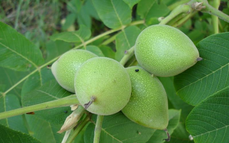 Маньчжурский орех 2