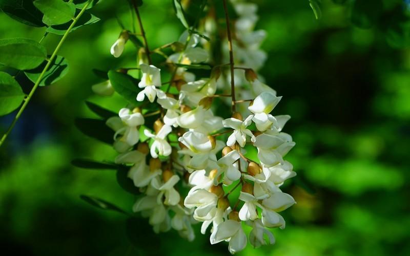 Полезные свойства растения акация белая и применение в народной медицине