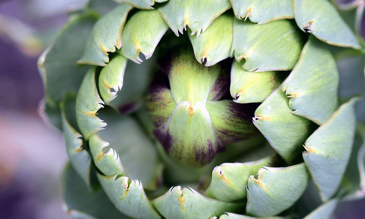 Химический состав растения артишок и пищевая ценность