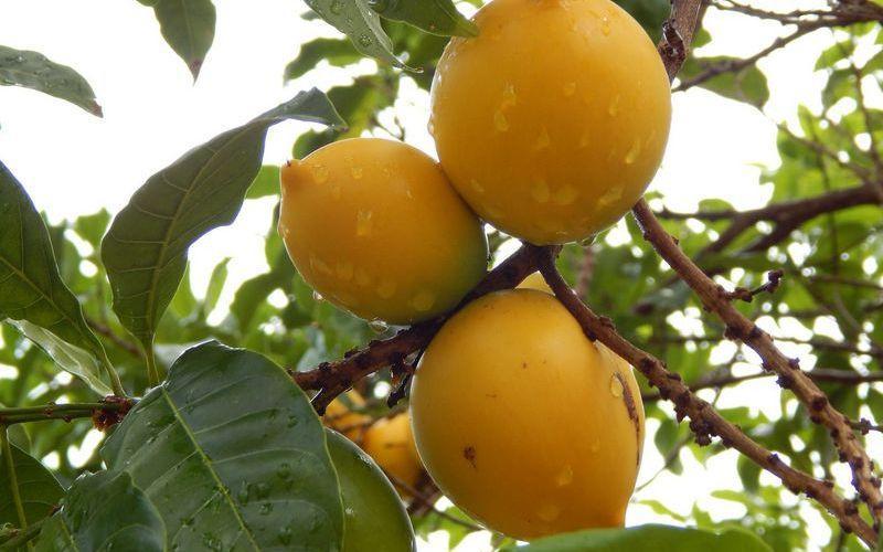 Что за фрукт абиу? Приносит пользу организму или может нанести вред?