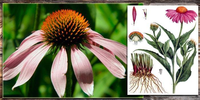 Эхинацея пурпурная описание растения