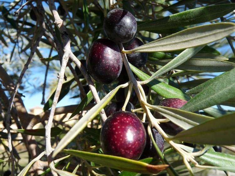 Как применять экстракт оливкового листа