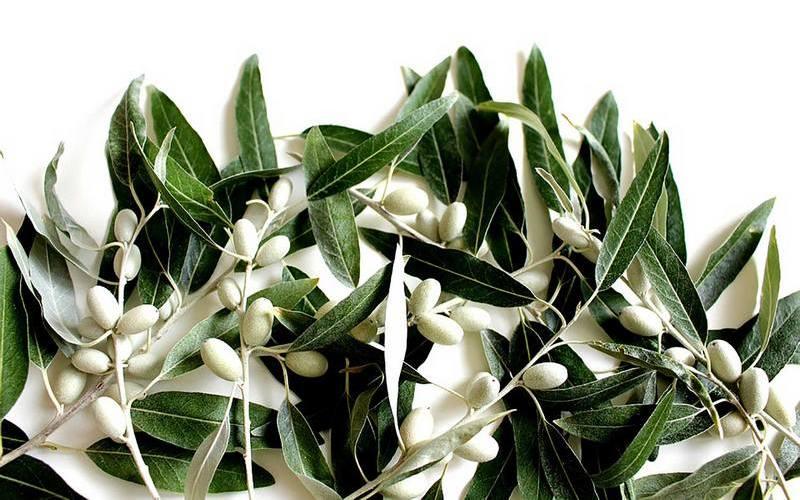 Полезные свойства листа оливы, противопоказания и как принимать