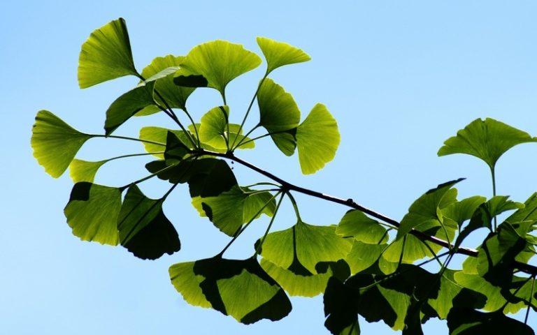 Применение гинкго билоба, польза и противопоказания растения