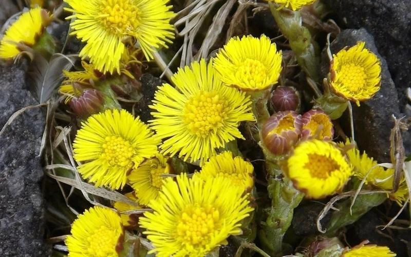 Описание растения Мать-и-мачеха, полезные свойства цветов и противопоказания