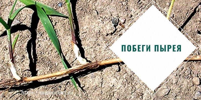 польза корней пырея ползучего