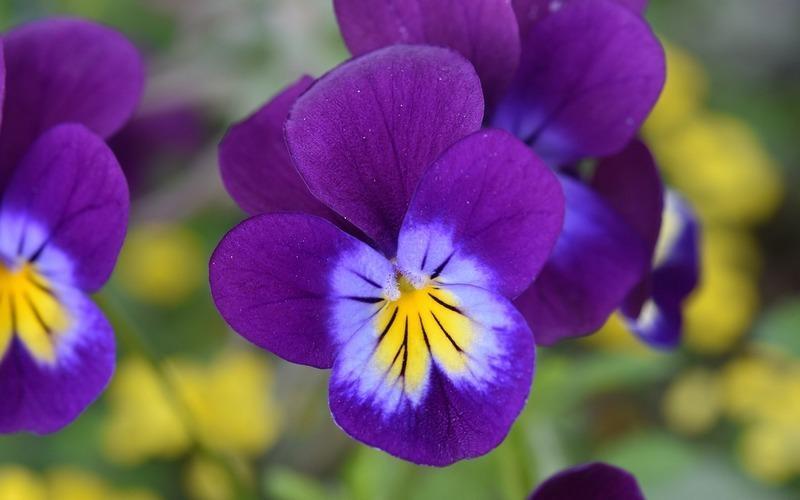 Фиалка трехцветная — лечебные свойства