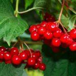Что можно приготовить из красной ягоды калины, полезные свойства и противопоказания
