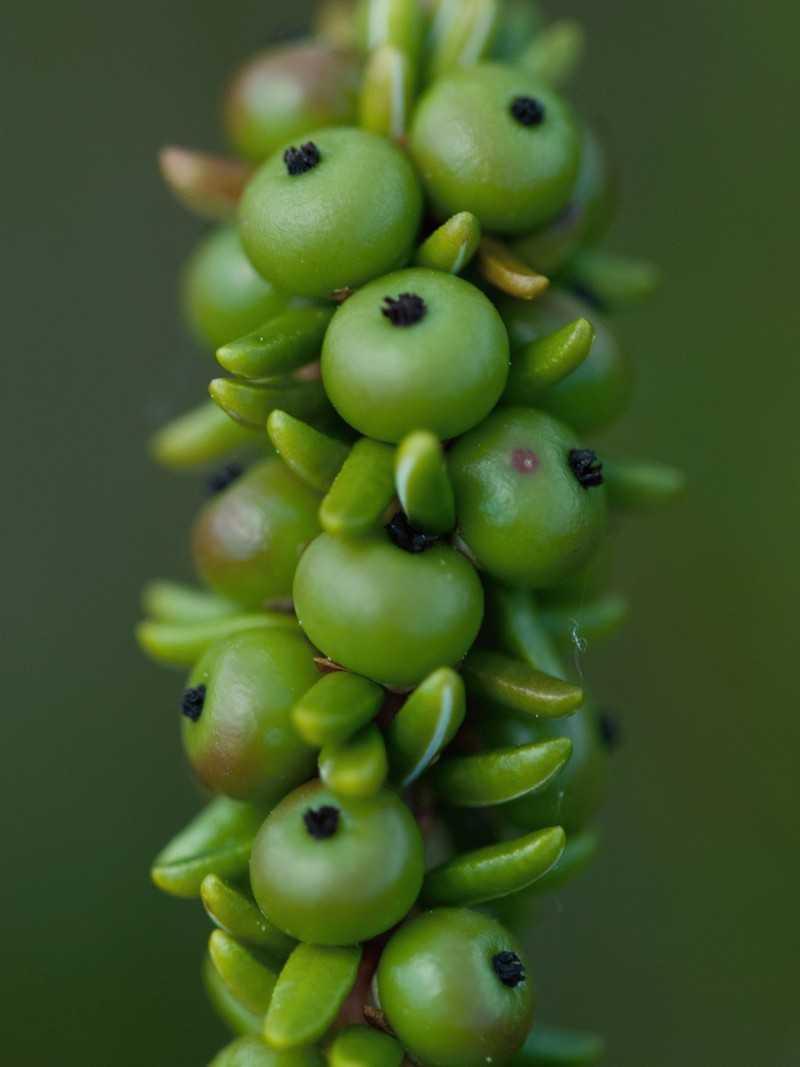 Фото зеленого растения шикша