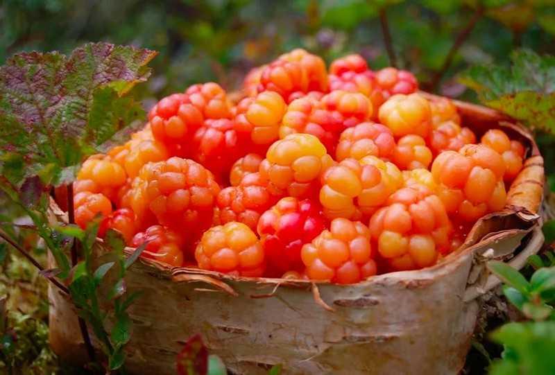 Как применяют ягоду в народной медицине