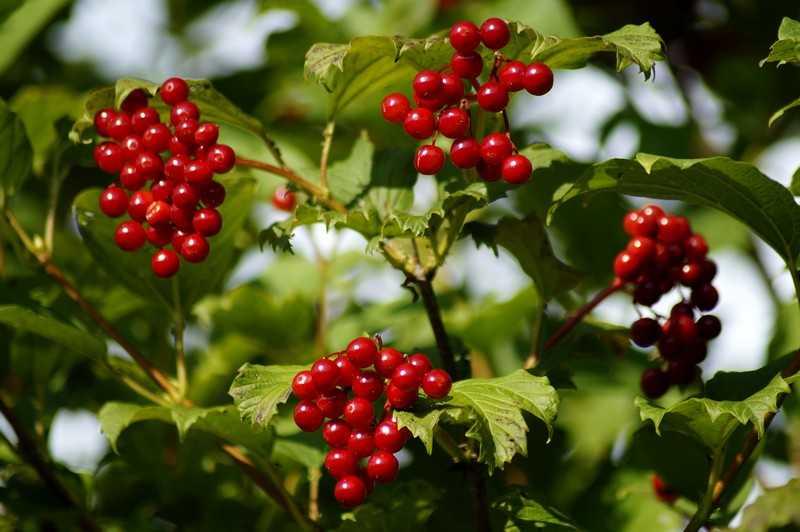 Каков состав и полезные свойства имеет ягода калина