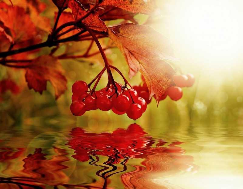 Калина расцветает в мае, а ягоды появляются с августа по сентябрь.