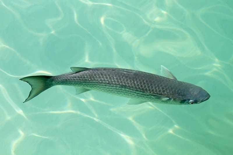 Кефаль что за рыба