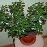 Лечебные свойства и противопоказания денежного дерева
