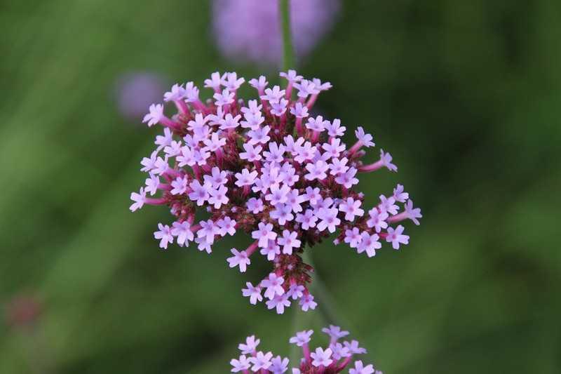 Тимьян трава полезные свойства