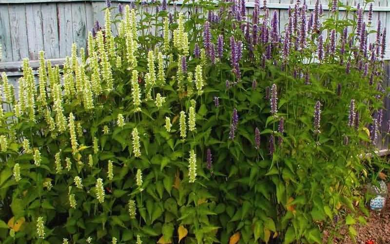 Полезные свойства и противопоказания растения лофант