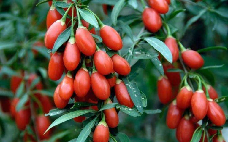 Полезные свойства и противопоказания ягод годжи, как принимать