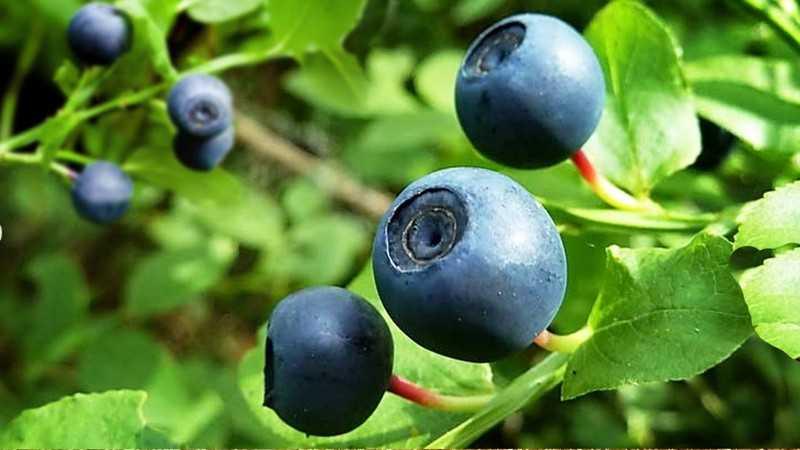 Полезные свойства ягоды черники