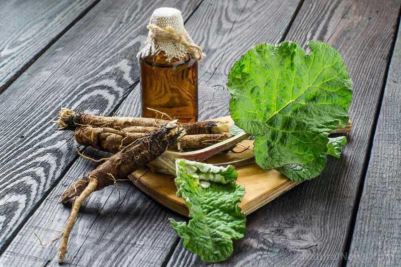 Применение корня и листьев репейника в народной медицине