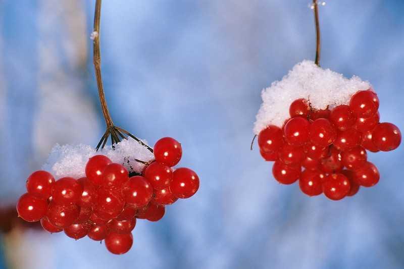 Собираем полезные ягоды калины
