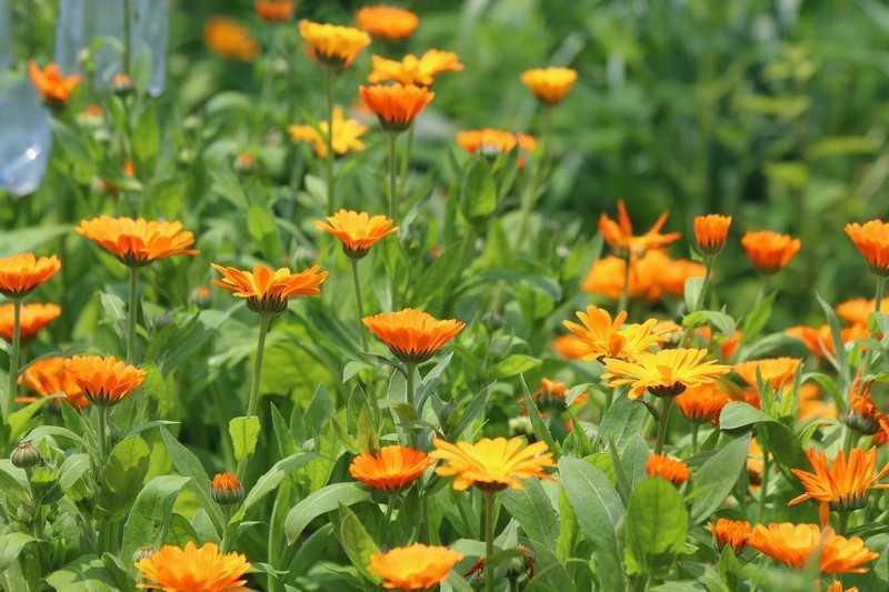 Цветки ноготков (календула) применение