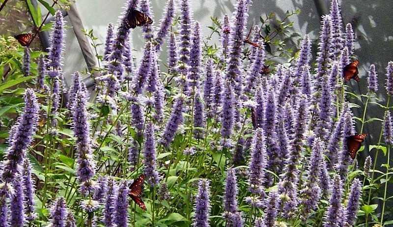 Вред и противопоказания растения лофант