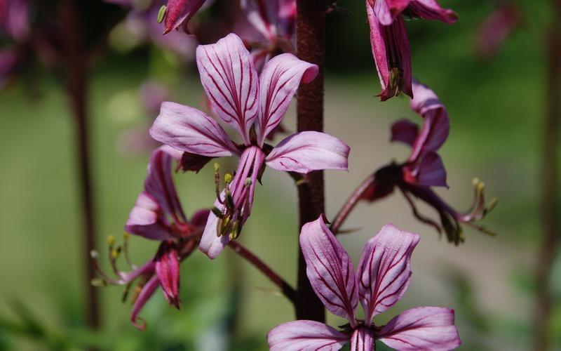 Ясенец — польза, лечебные свойства