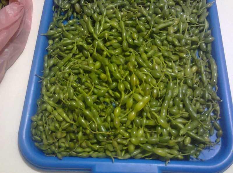 Плоды и семена софоры – источник жизненных сил