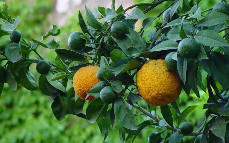 Что это за растение,  свойства, польза и вред бергамота