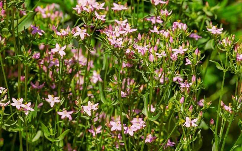 Лечебные свойства растения золототысячник