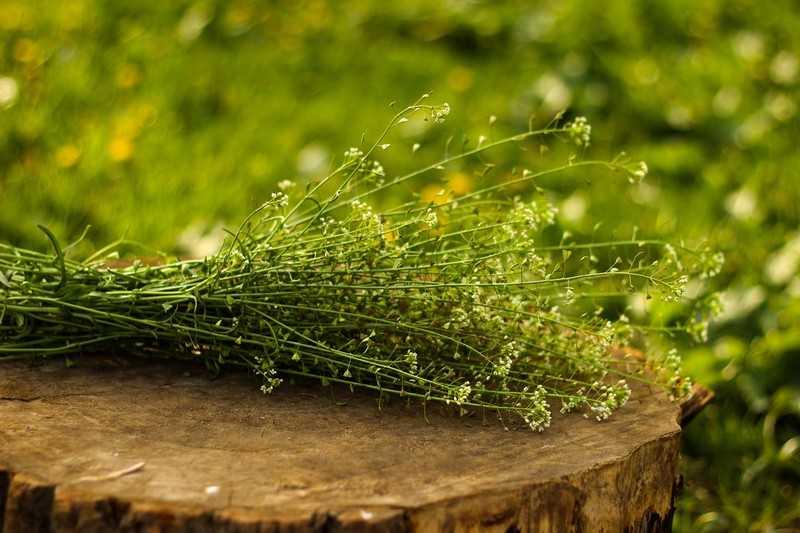 Общие лечебные свойства растения пастушья сумка