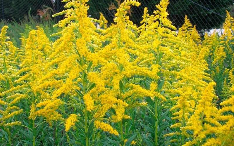 Описание растения амброзия, полезные свойства, вред