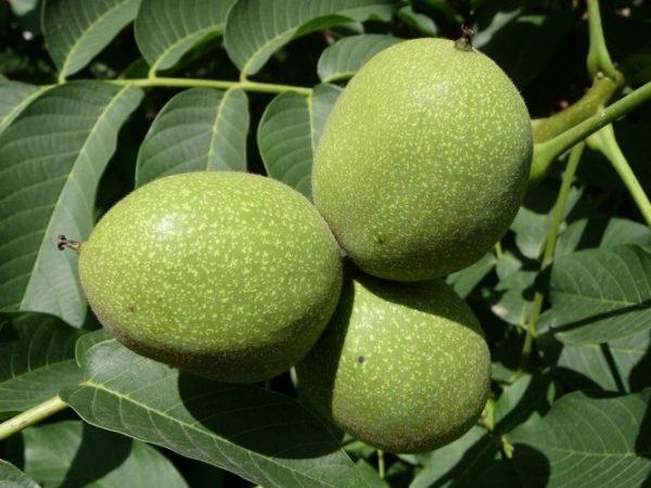 Польза и вред грецкого ореха, свойства, как применять