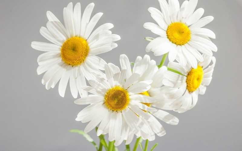 Свойства ромашки, польза и вред для здоровья, как принимать