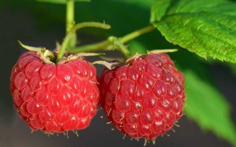 Свойства ягод малина, польза и вред для здоровья