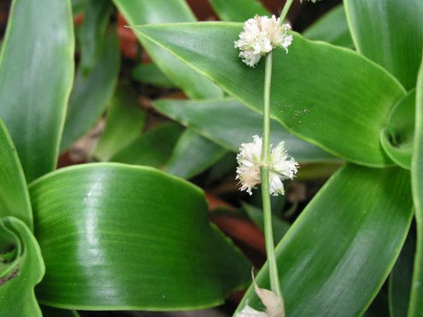 Лечебные свойства и противопоказания растения золотой ус