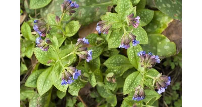 Лекарственная (P. officinalis)