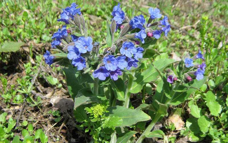 Мягкая ((Р. Mollissima)