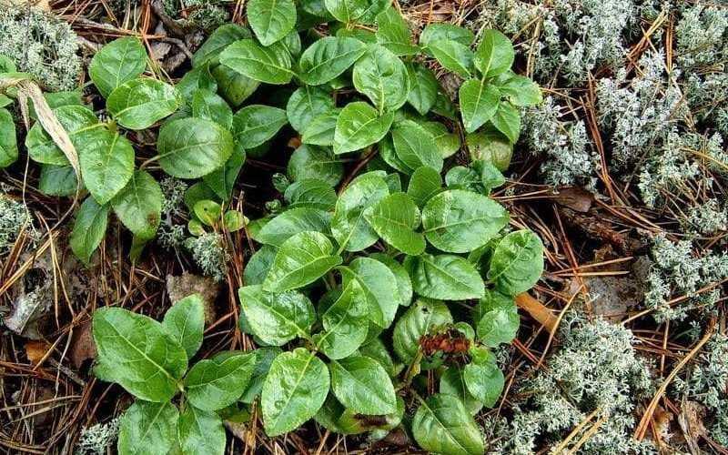 Описание растения боровая матка