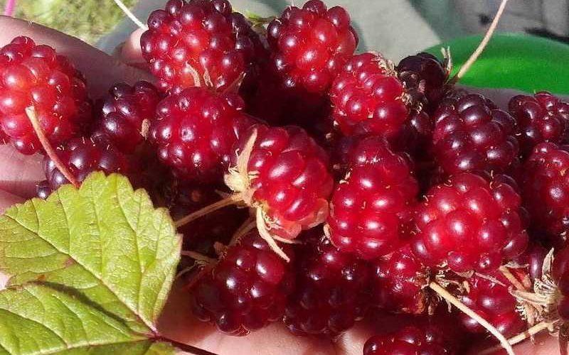 Описание ягоды княженика с фото, где растет, польза и вред