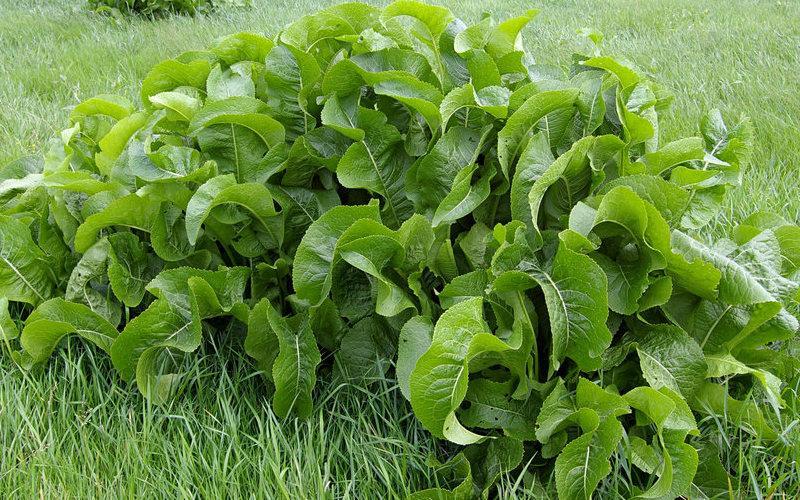 Польза и вред листьев и корня хрена