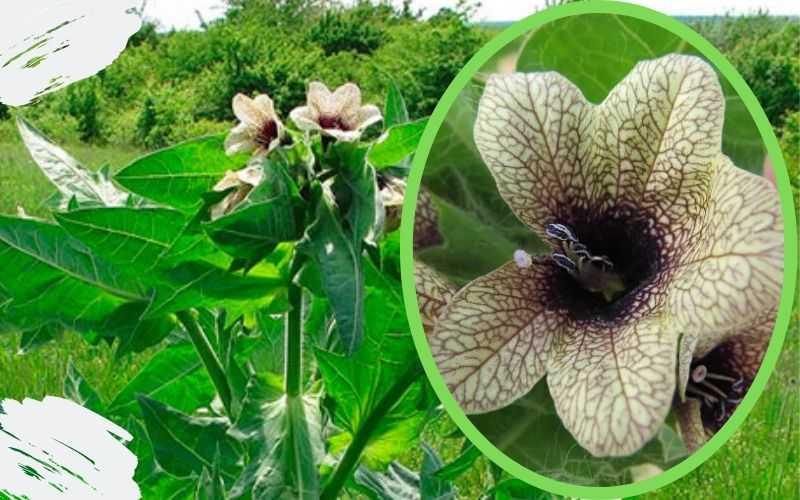 Химический состав растения белена черная